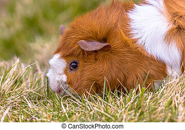 Guinea Pig eating grass in backyard