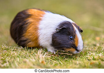 Guinea Pig eating grass of backyard