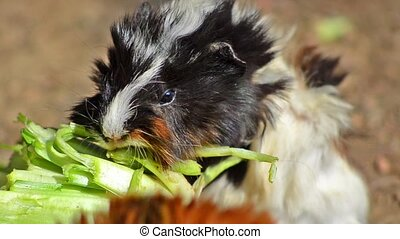 guinea pig eating - guinea pig close up