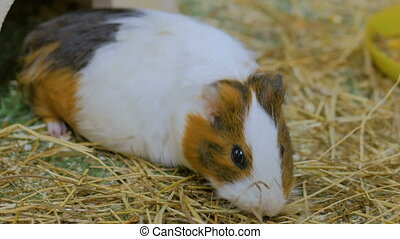 Guinea pig eating hay in zoo