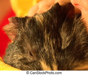 guinea pig yawn BIG at childs hands slow motion