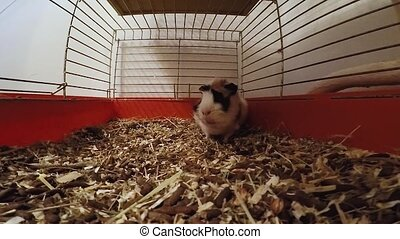 guinea pig in a cage.