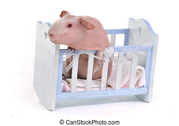Guinea Pig in a child Cot
