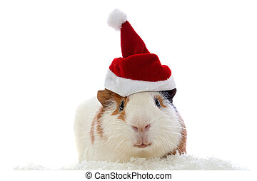 guinea pig in christmas hat isolate