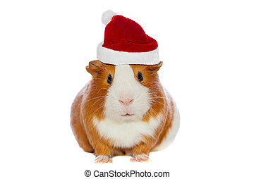 guinea pig in Santa's hat isolated