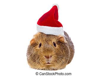 Guinea pig in Santa's hat