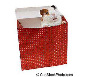 guinea pig in the present box