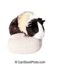 guinea pig isolated on white