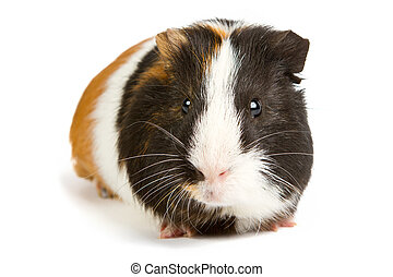 Guinea pig little pet rodent. guinea pig isolated on white...