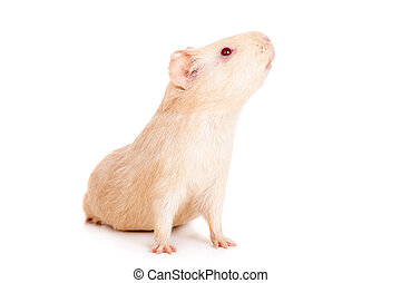 Guinea pig on a white