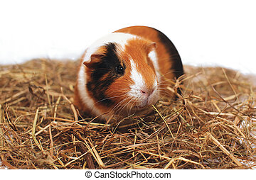 Guinea pig on hay