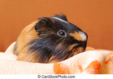 guinea pig on the blanket - portrait of a cute black and...