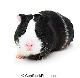 guinea pig on white background.