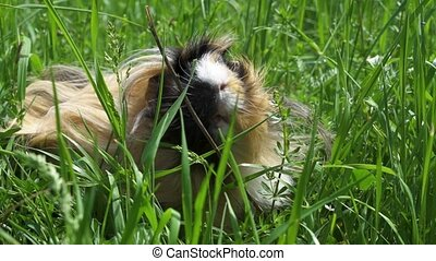 Guinea pig outside eating grass. Slow motion. Close up.