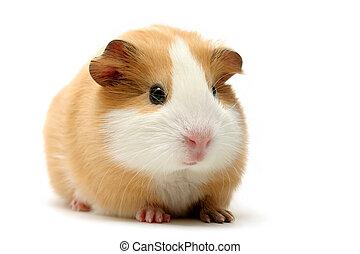 cute guinea pig shot over white