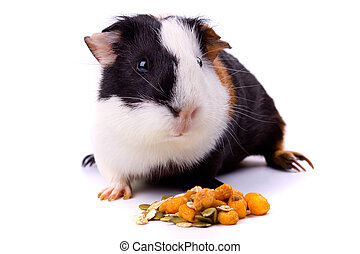 Guinea pig, pet animal isolated on white