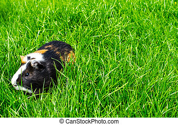 Guinea pig sits on grass