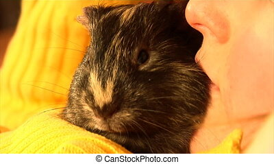 guinea pig yawn BIG at childs hands