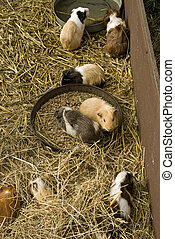A small family of guinea pigs at play
