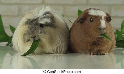 Guinea pigs breed Golden American Crested and Coronet cavy eating cucumber