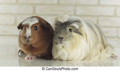 Guinea pigs breed Golden American Crested and Coronet cavy stock footage video