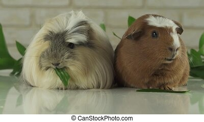 Guinea pigs breed Golden American Crested and Coronet cavy eating cucumber slow motion stock footage video