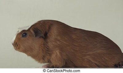 Guinea pigs breed Golden American Crested feet slip on slippery surfaces slow motion