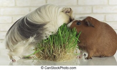 Guinea pigs breed Golden American Crested and Coronet cavy eat germinated oats stock footage video