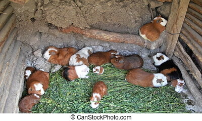 Guinea Pigs - Cage with guinea pigs in the Colca Canyon in...