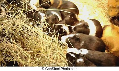 Guinea pigs eat a straw. Family of guinea pigs - Family of...