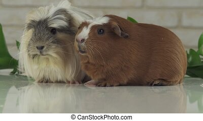 Guinea pigs eat their own droppings to improve digestion -...