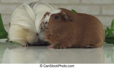 Guinea pigs eat their own droppings to improve digestion...