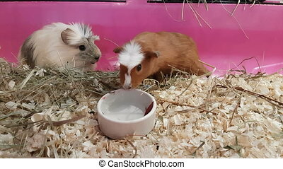 Guinea pigs eating cucumbers and beets.