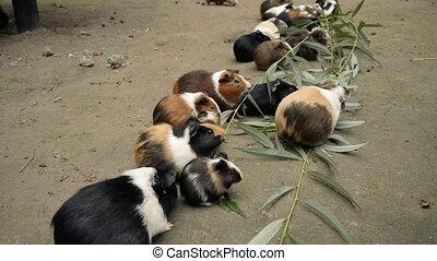 Guinea Pigs Eating Eucalyptus