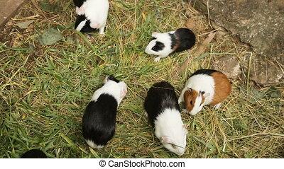 Guinea pigs eating grass.