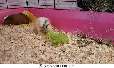 Guinea pigs eating lettuce stock footage video