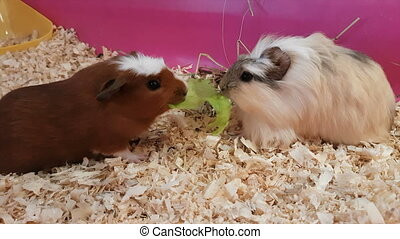 Guinea pigs eating lettuce.