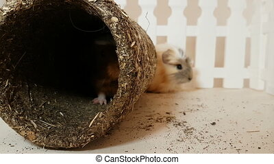 Guinea pigs happily playing an edible pipe stock footage...