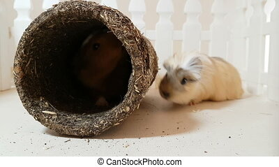 Guinea pigs happily playing an edible pipe. - Guinea pigs is...