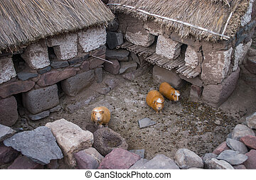 Guinea pigs in Peru waiting for the dinner