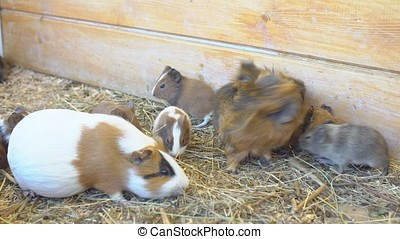 Guinea Pigs in the Contact Zoo
