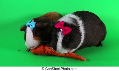 Guinea pigs on green screen. Cavy Pig eating carrot food.