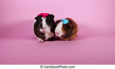Guinea pigs on pink screen background. Cute cavys. Pig in pink.