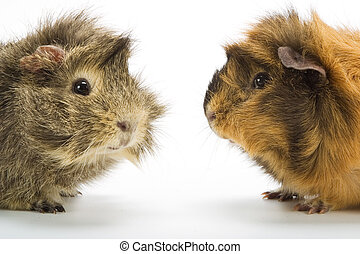 Guinea pigs on white background