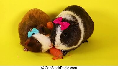 Guinea pigs on yellow screen. Cavy pig eating.