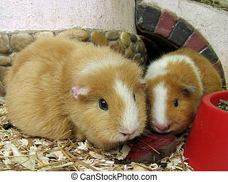 Two orange guinea pigs on the sawdust