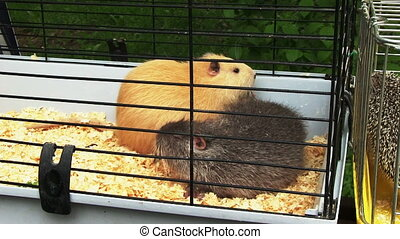 Guinea Pigs - Two guinea pigs inside the cage