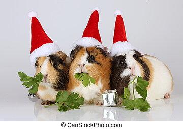 guinea, sombreros, cerdos, tres, santa