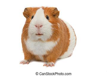guinea, weißer hintergrund, schwein
