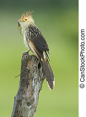 Guira Cuckoo (Guira guira) with a frog in its beak sitting on a fence post in the Pantanal region of Brazil. by Hal Brindley